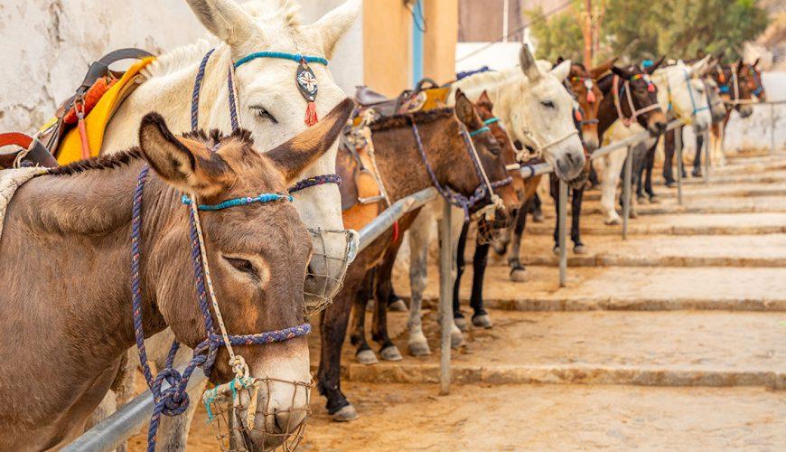 santorini-tours-donkey